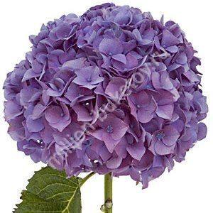 Купить цветы гортензии