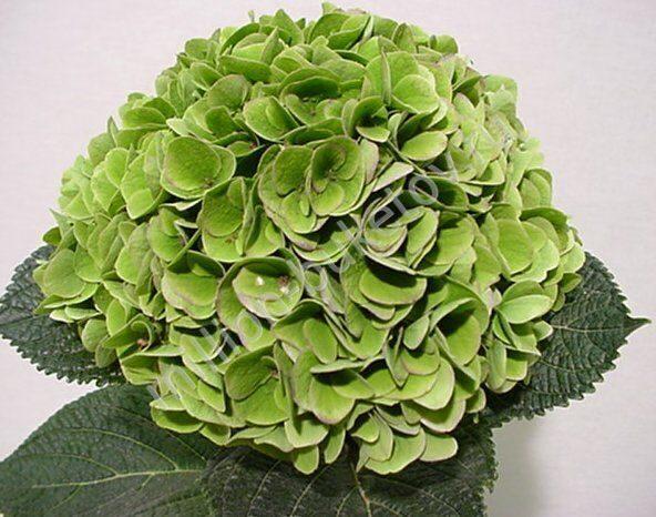 Зелёная гортензия фото
