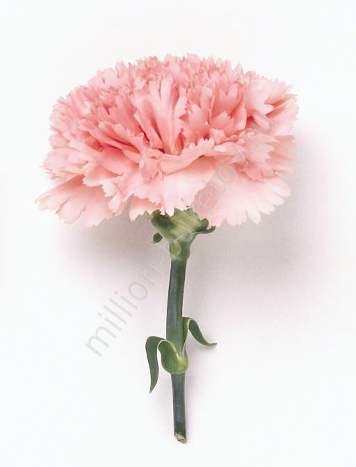 Черные гвоздики цветы купить подарок мужчине купить екатеринбург