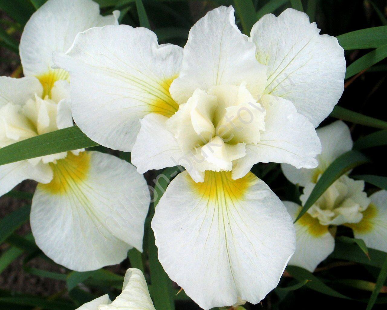 Фото белый ирис цветок