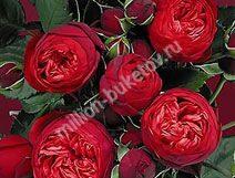 Пионовидная роза бордовая