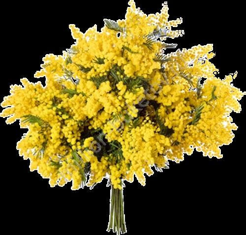 Мимозы купить живые цветы оптом вологда