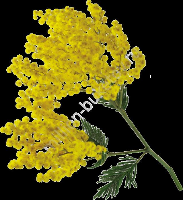 цветок мимоза