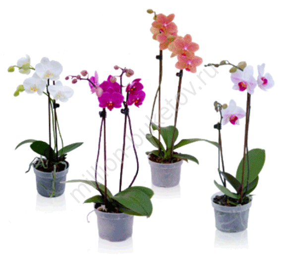 Цветок орхидея в горшке купить