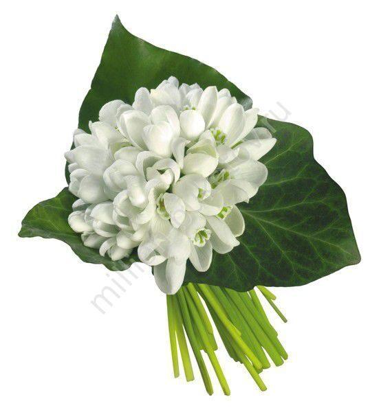 Цветы подснежник купить английские розы мадонна купить книгу