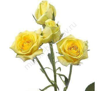 Желтая роза кустовая