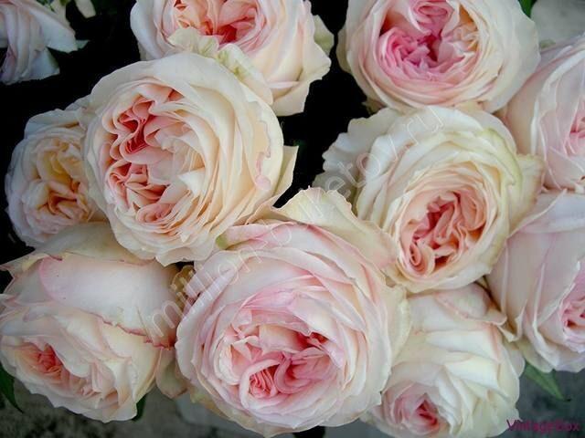 Кустовая роза персиковая