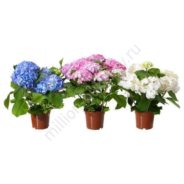 Цветы в горшках фото и цены