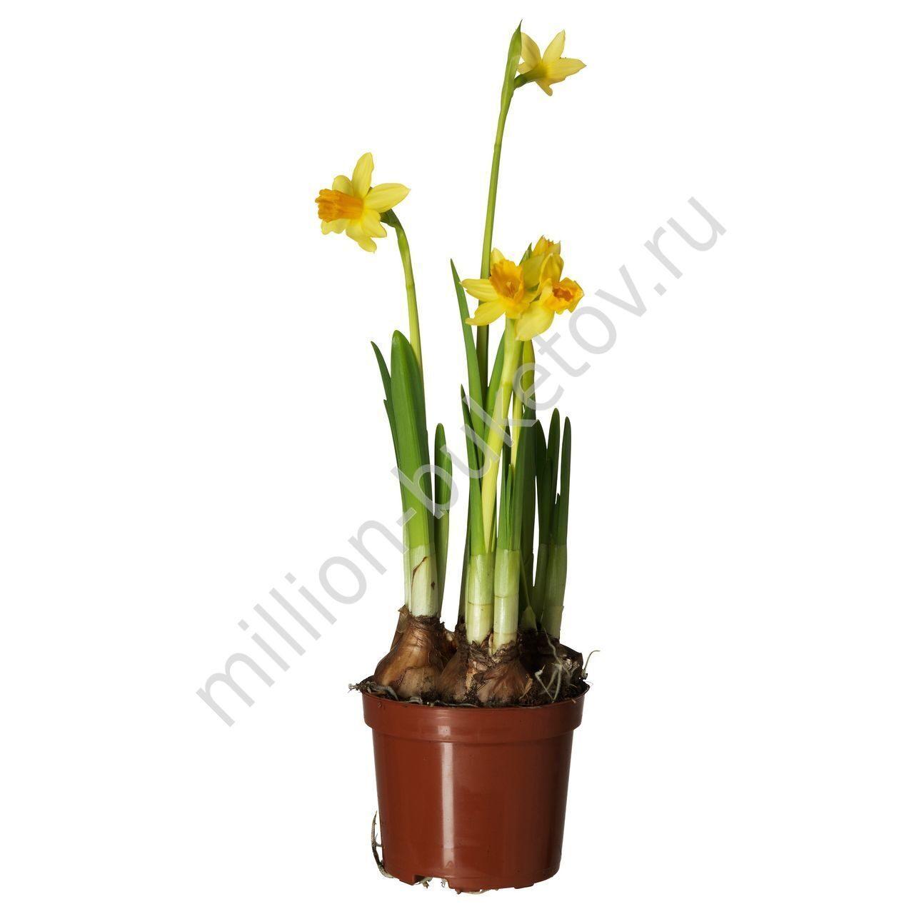 Домашний цветок похожий на нарцисс как